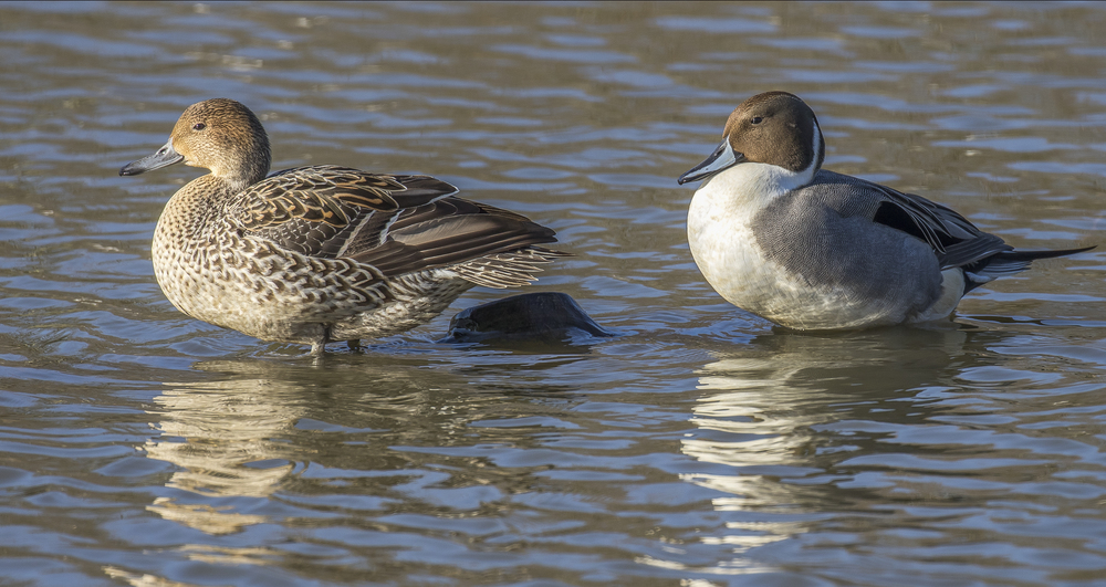 Pintail M & F 7th March.jpg