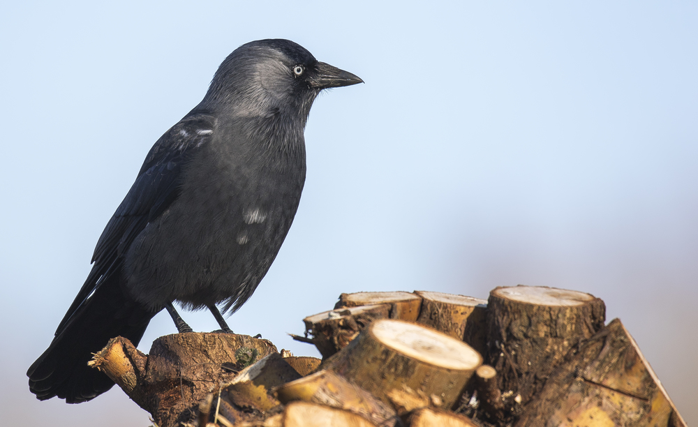 Jackdaw 7th March.jpg