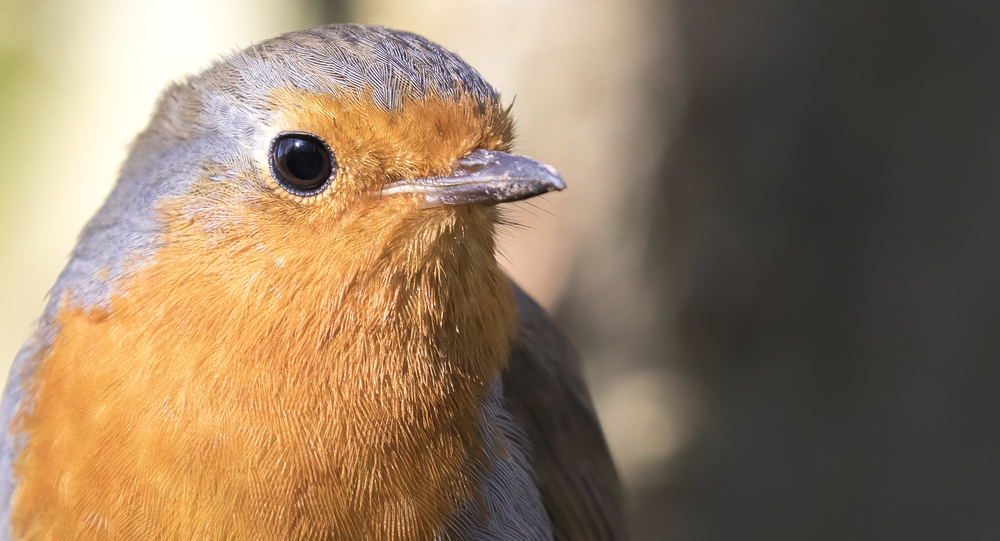 Robin Close Up 7th March.jpg