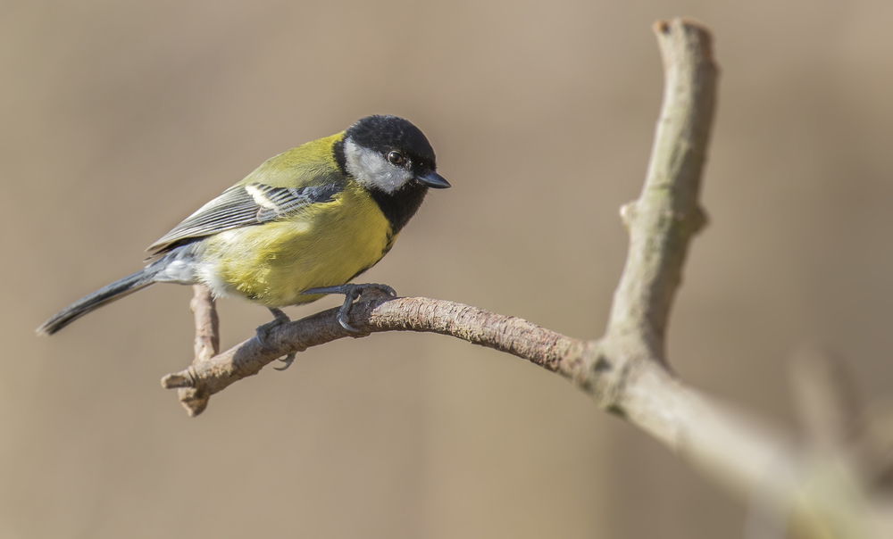 Great Tit .jpg