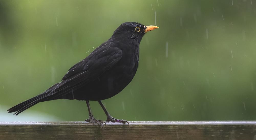 Blackbird Rain