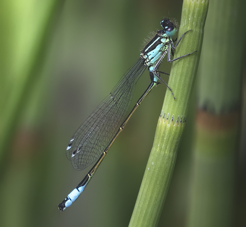 Blue-tailed Damselfly 2 4th June.jpg
