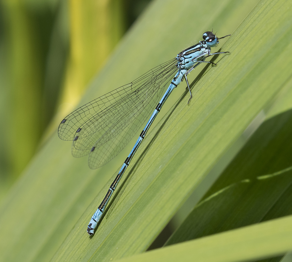 Azure Damselfly 4th June.jpg