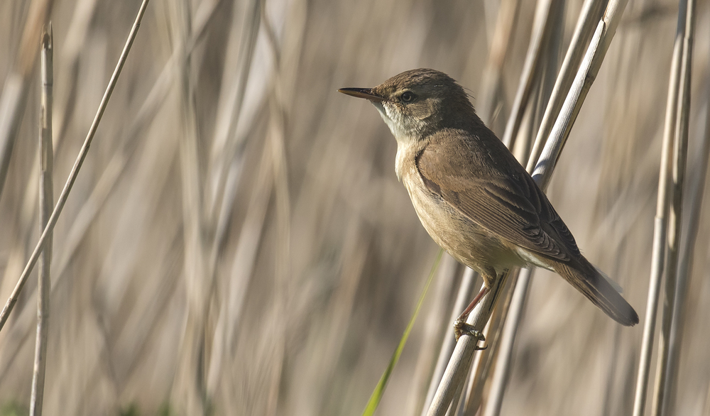 Reed Warbler 4th June.jpg