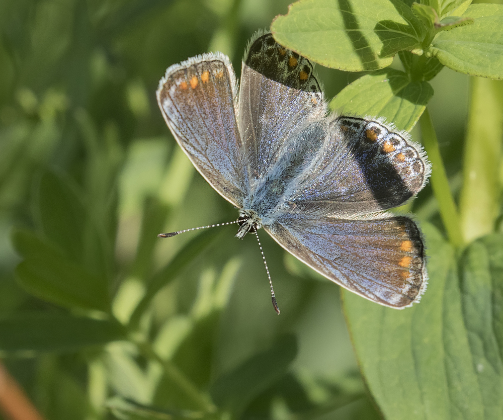 Common Blue 4th June.jpg