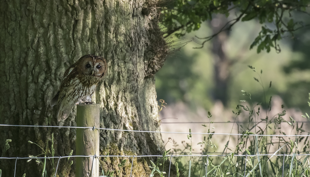 Tawny Owl Fence Post 4th June.jpg