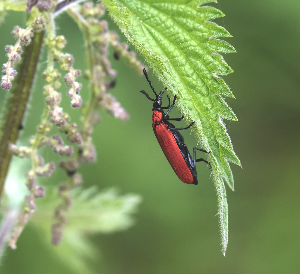 Cardinal Beetle 2 4th June.jpg