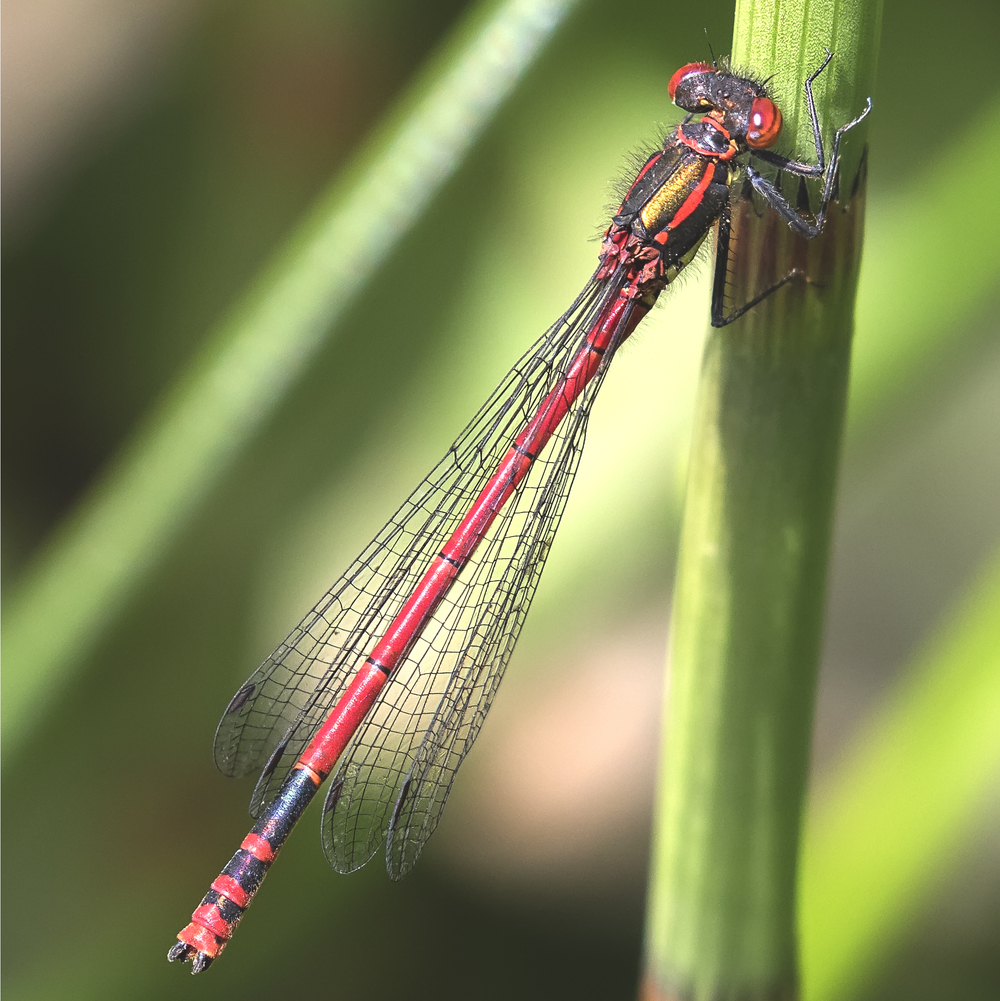 Large Red Damselfly 4th June.jpg