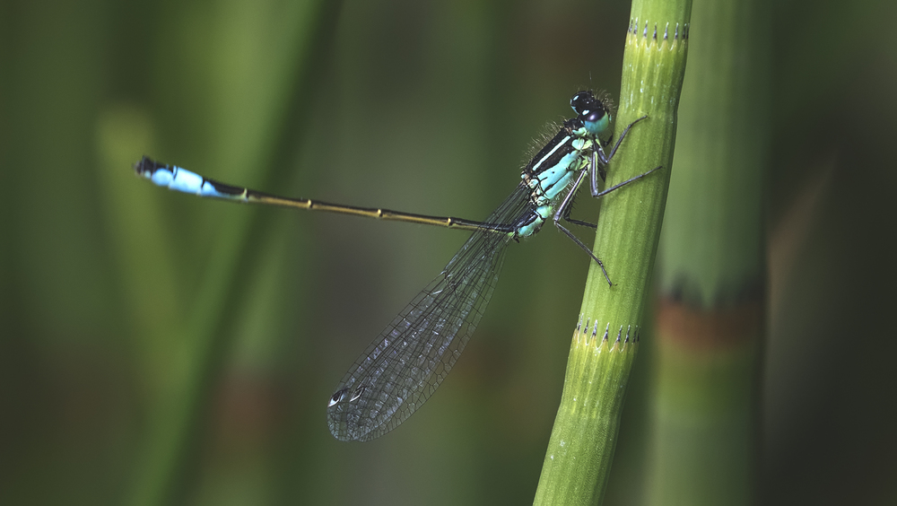 Blue-tailed Damselfly 4th June.jpg