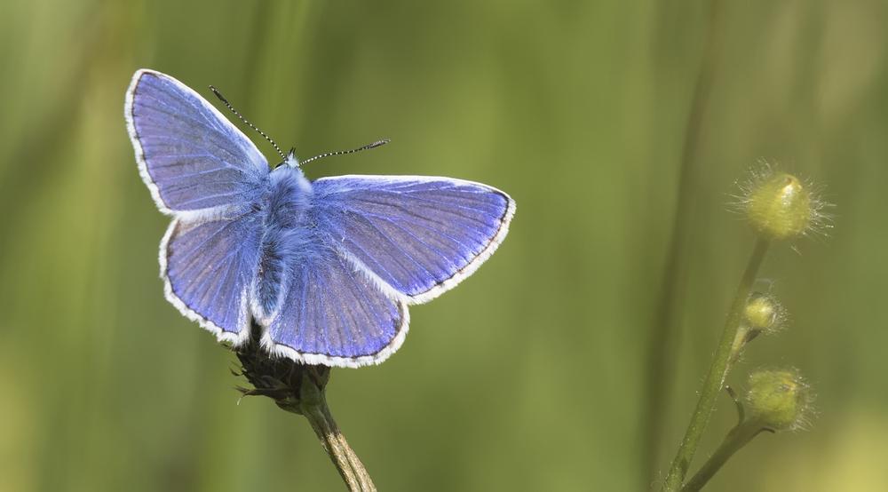 Common Blue 7th June.jpg