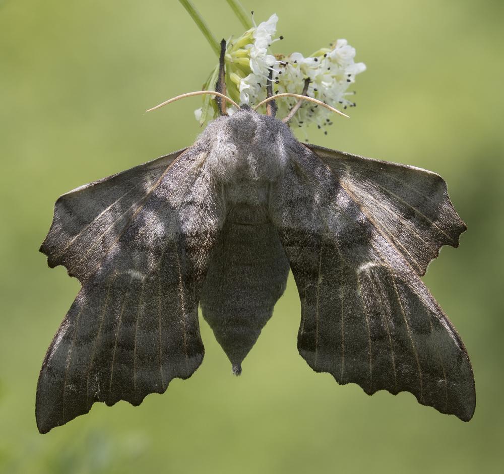Poplar Hawk-moth 7th June Crop.jpg