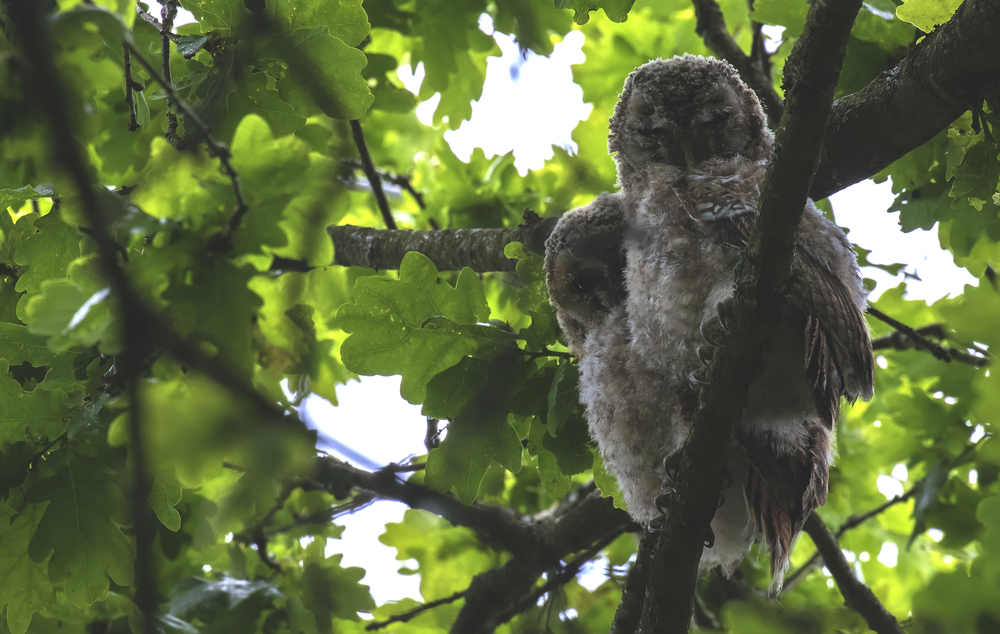 Tawny Owlets 5th June.jpg