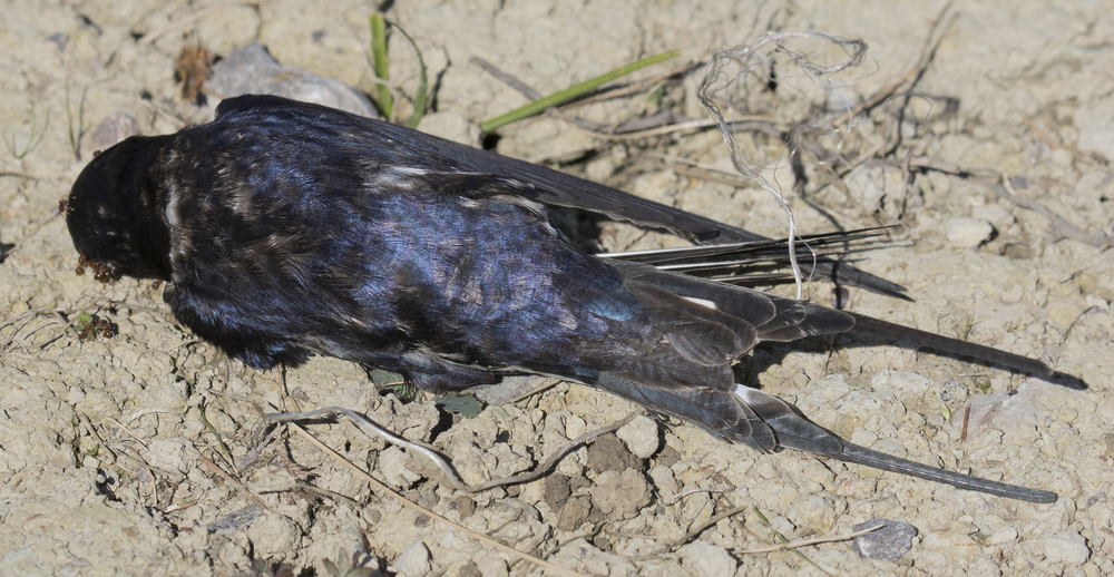 Swallow Death 5th June.jpg