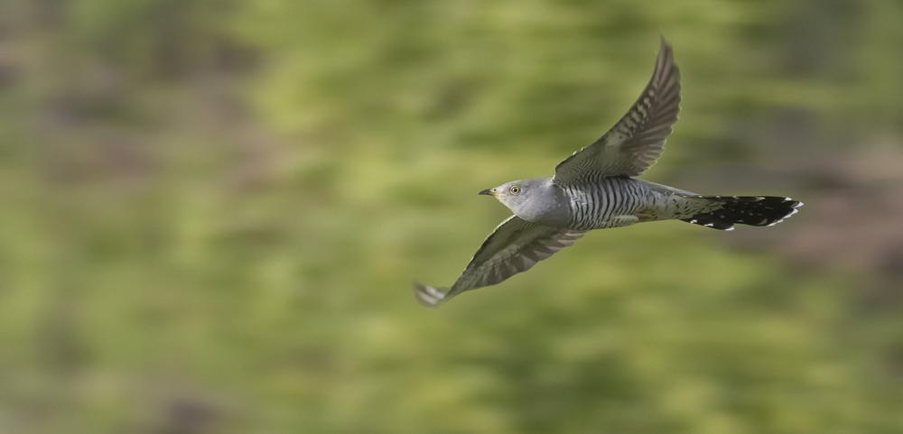 Cuckoo Fast Flight 16th June.jpg