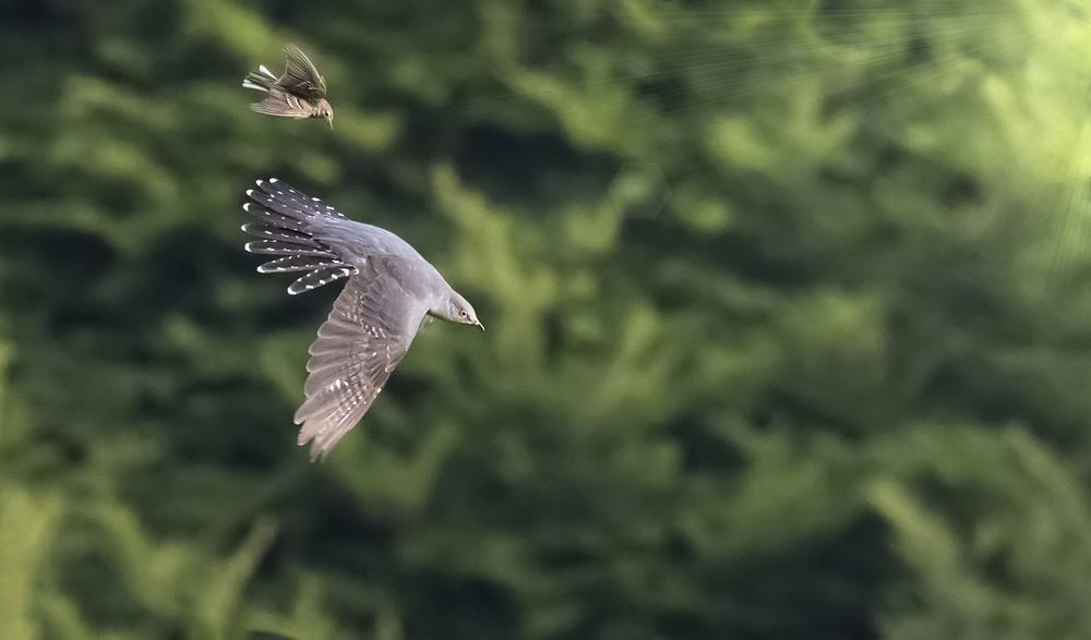 Cuckoo & MP flight 16th June.jpg