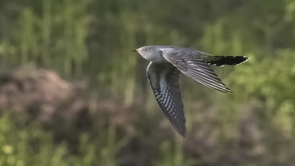 Cuckoo Flight 16th June.jpg
