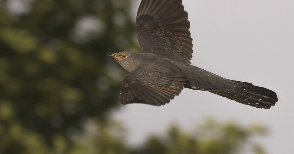 Cuckoo 16th June.jpg