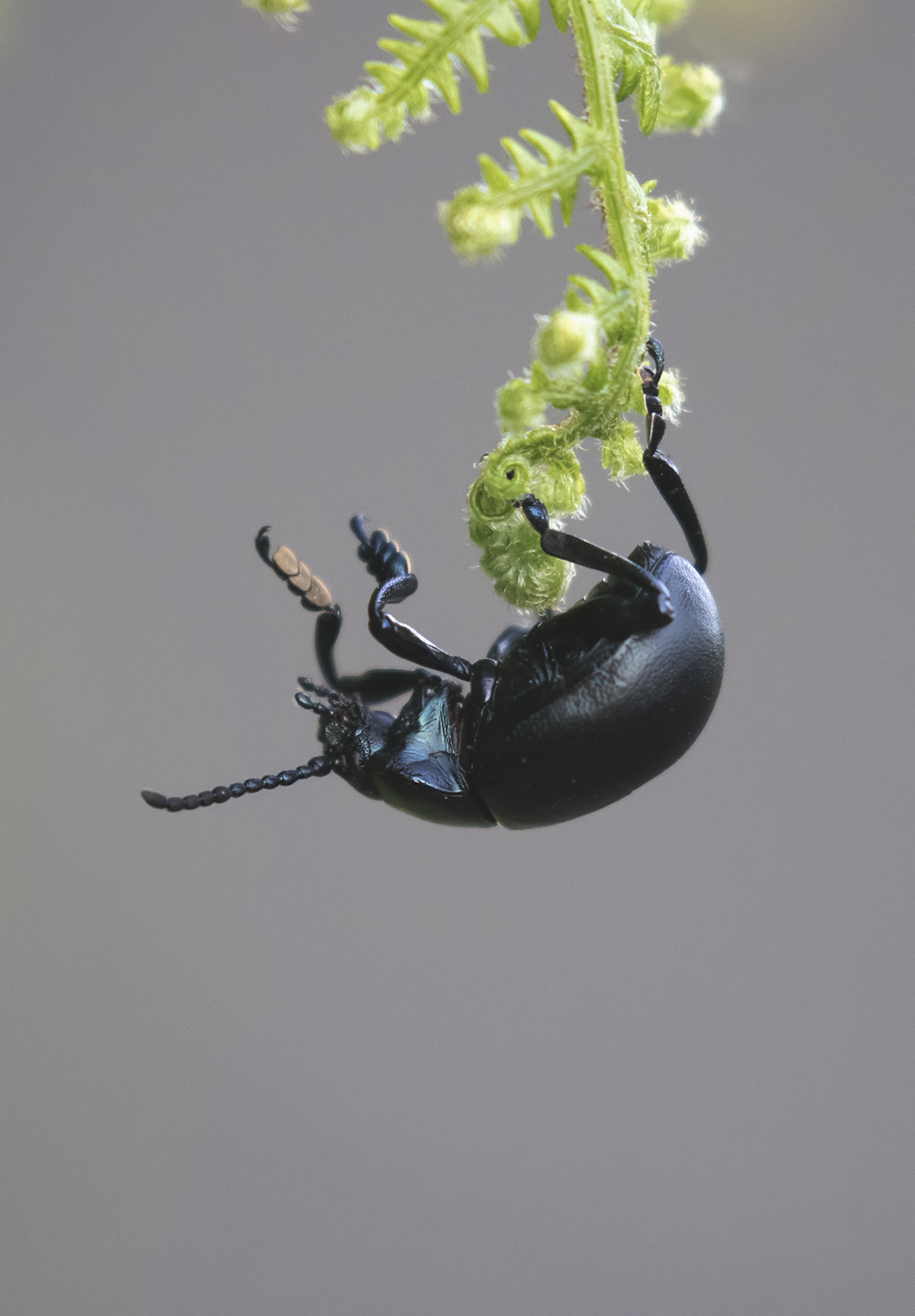 Blood-nosed Beetle 16th June.jpg