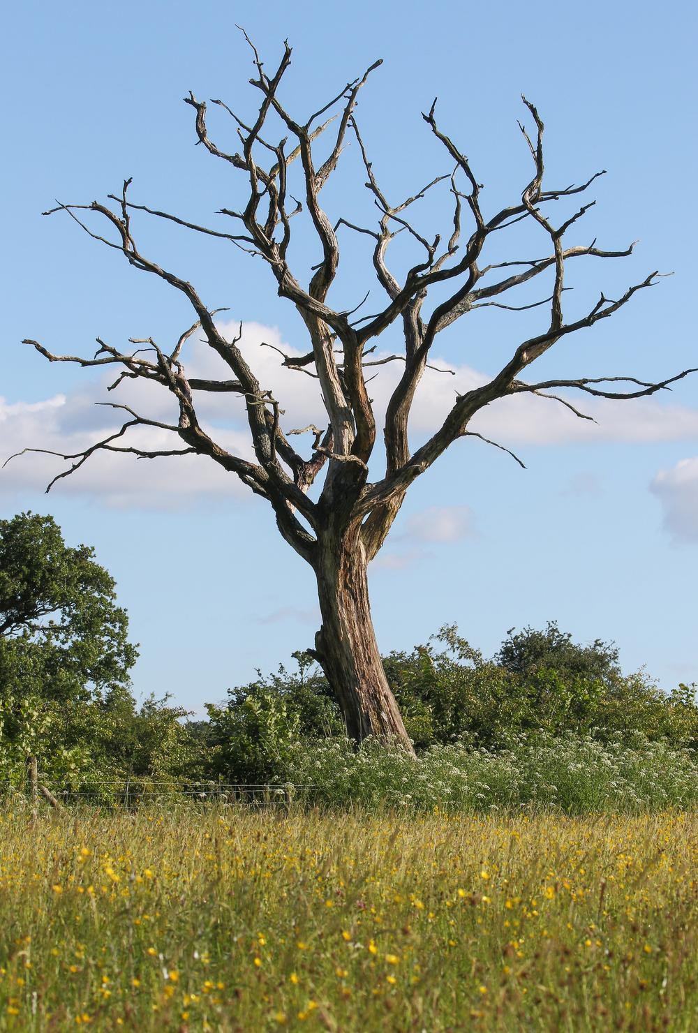 Llandegfedd Tree 22nd June.jpg