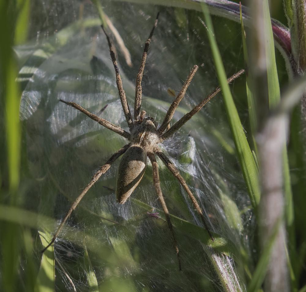 Nursey Web Spider 22nd June.jpg