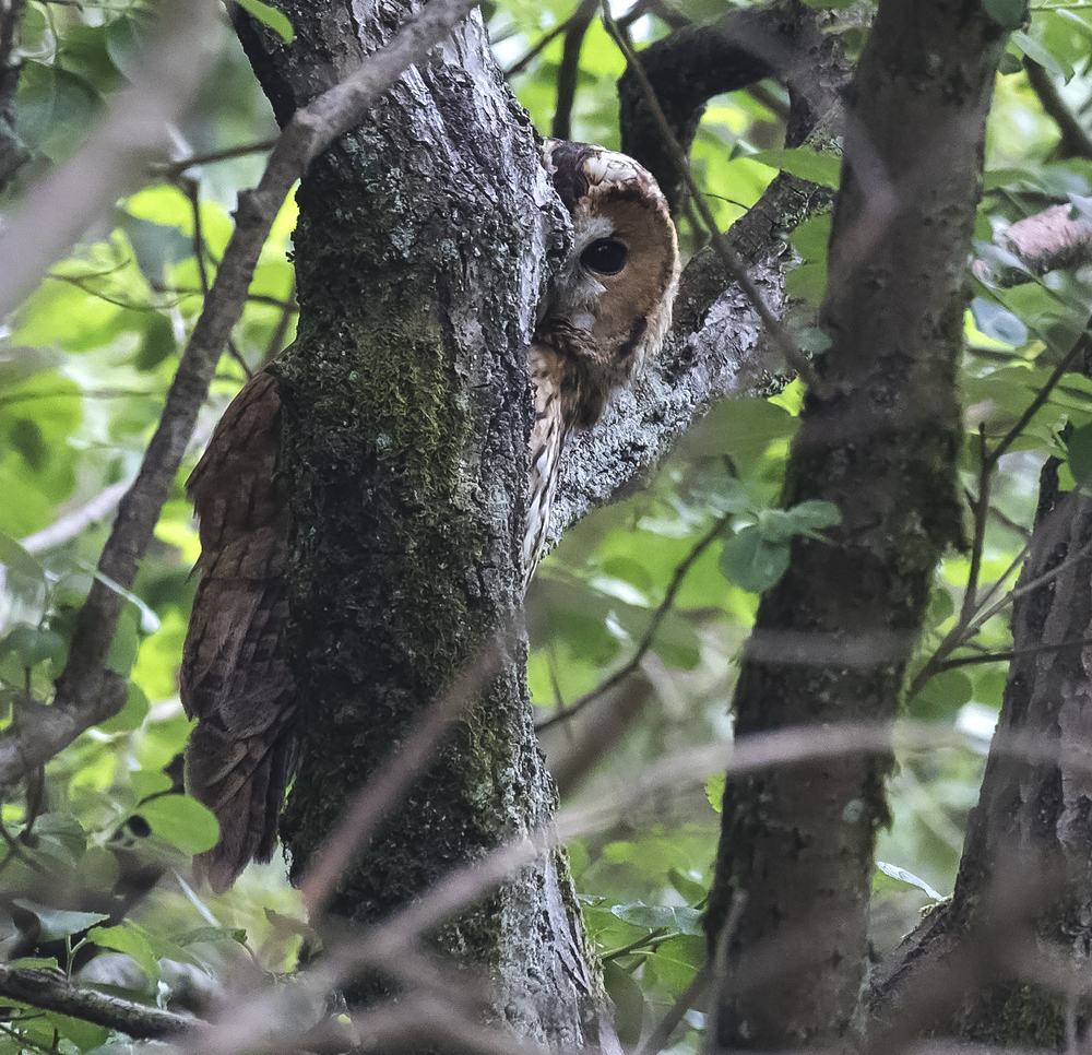 Tawny Owl Peaking 27th June.jpg