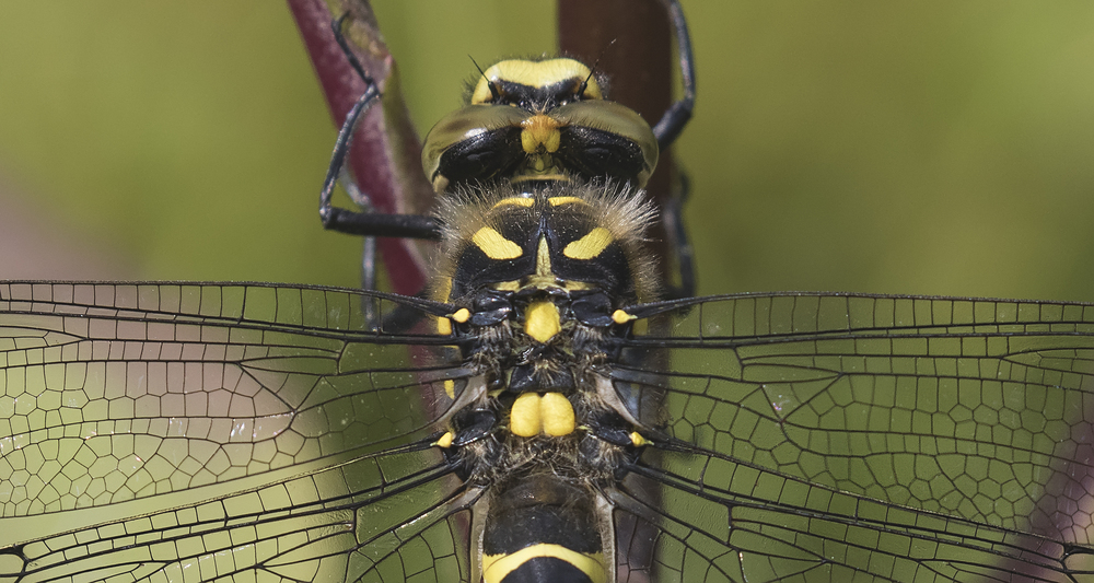Golden-ringed Dragonfly Crop 27th June.jpg