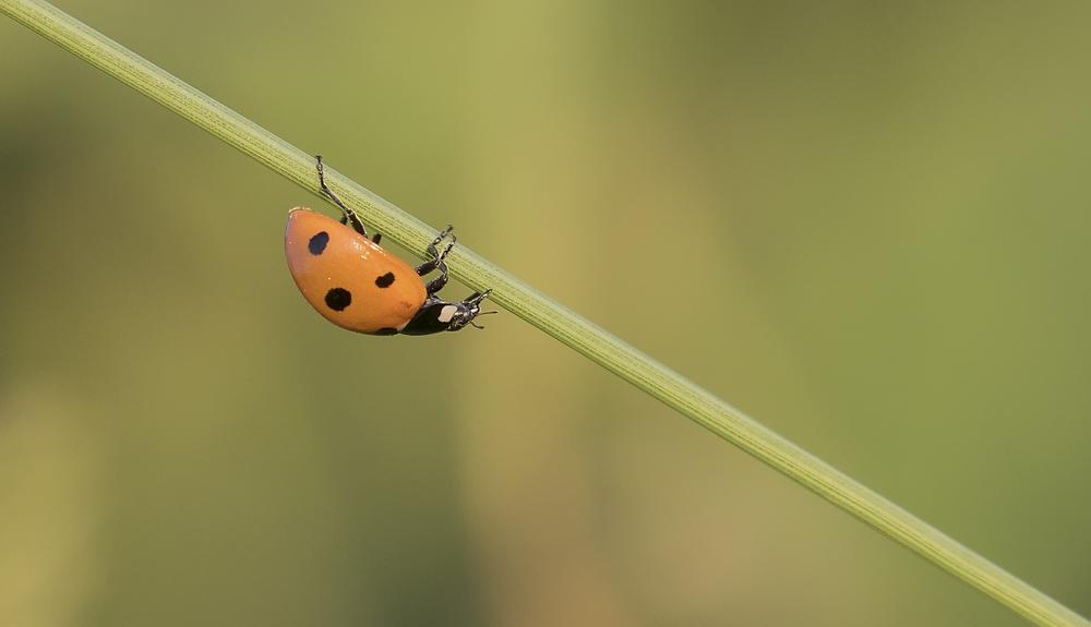 7 Spot Ladybird 30th June.jpg