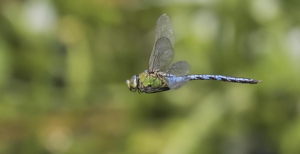 M Emperor Dragonfly 3rd July.jpg
