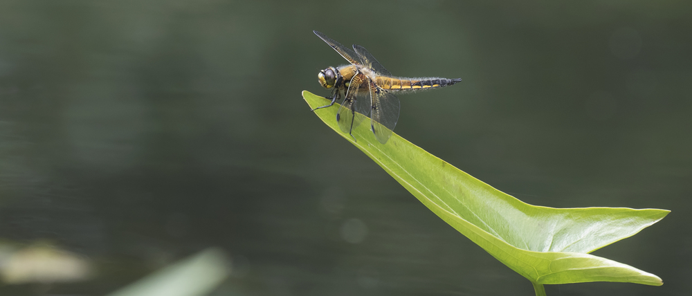 Four-spotted Chaser 3rd July.jpg