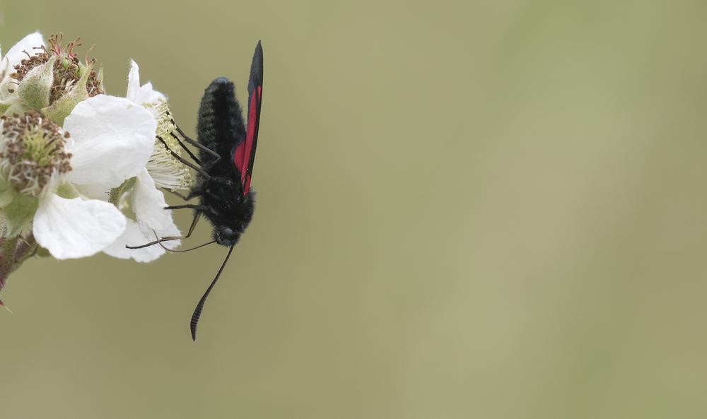 5-spot Burnet Moth 3rd July.jpg