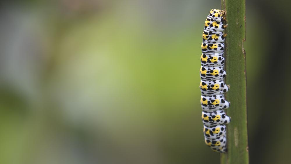 Mullien Moth Caterpillar 3rd July.jpg