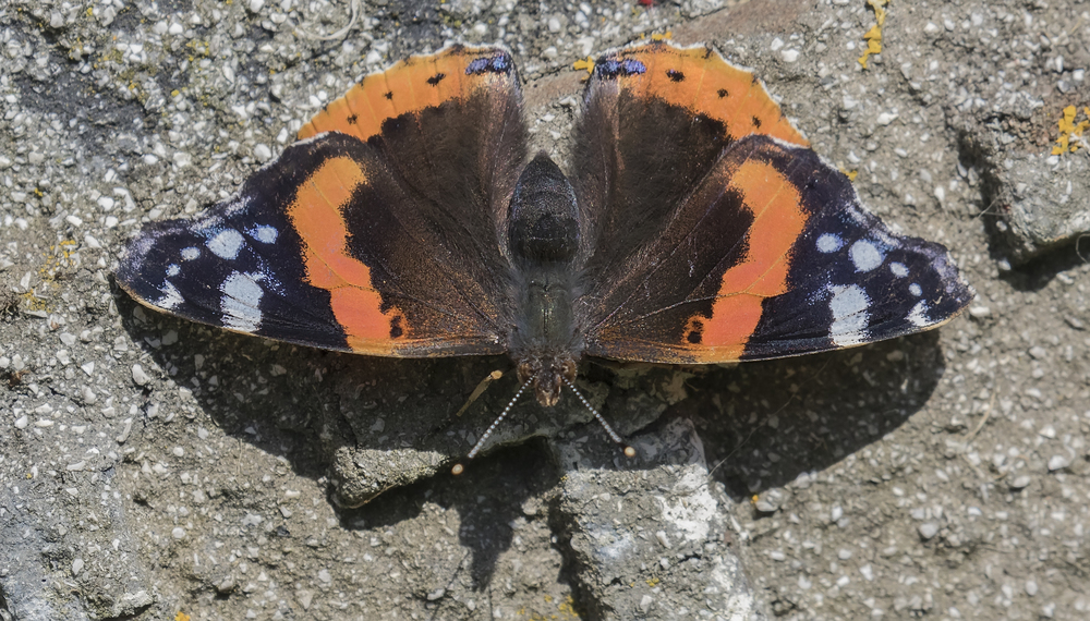 Red Admiral Close 4th July.jpg