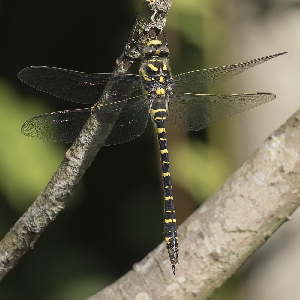 Golden Ringed Dragonfly 2 4th July.jpg