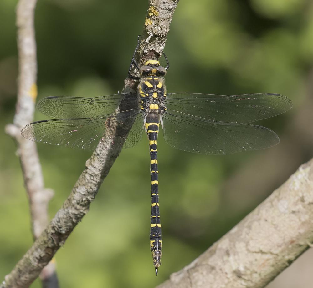 Golden Ringed Dragonfly 4th July.jpg