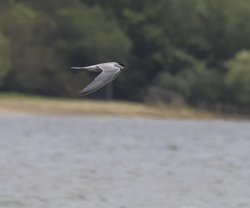 Tern 4th July.jpg