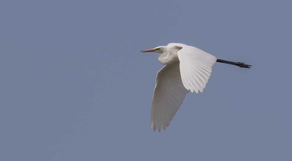 Great White Egret Flight 10th July.jpg