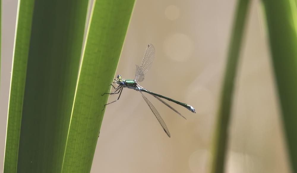 Emerald Damselfly 10th July.jpg