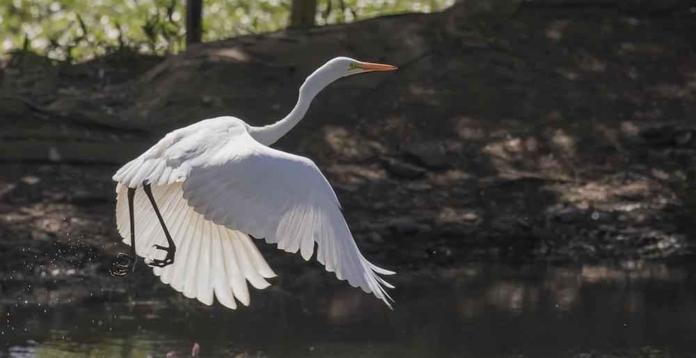 Great White Egret 10th July.jpg
