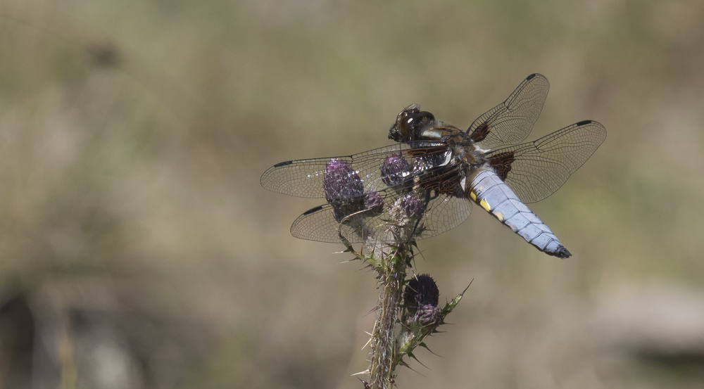 Male Broad-Bodied Chaser 10th July.jpg