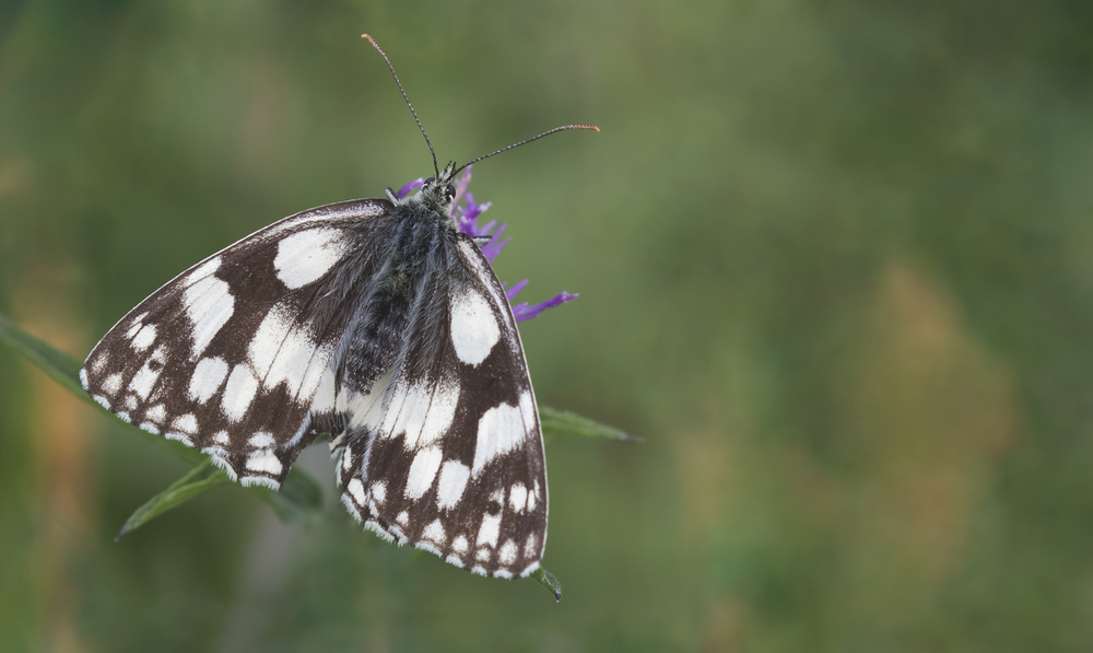 Marbled White 12th July.jpg