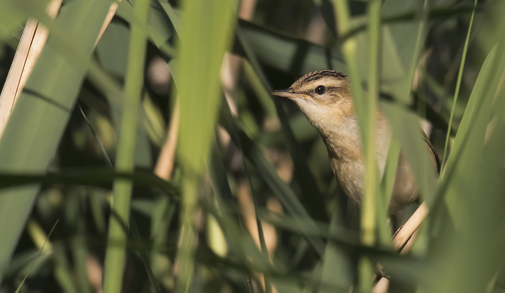 Sedge Warbler Peeking 19th July.jpg