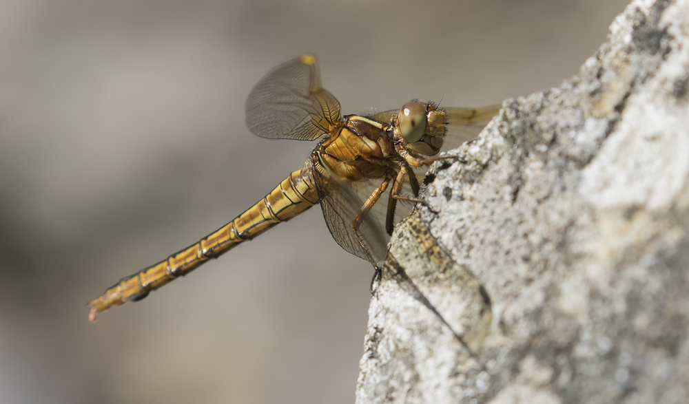 Keeled Skimmer Under Shot 19th July.jpg