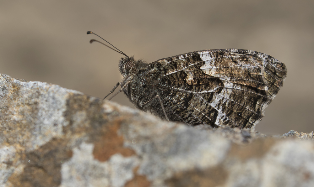 Grayling 19th July.jpg