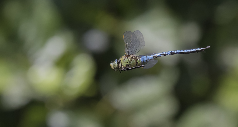 Emperor Dragonfly Nice Background 19th July.jpg