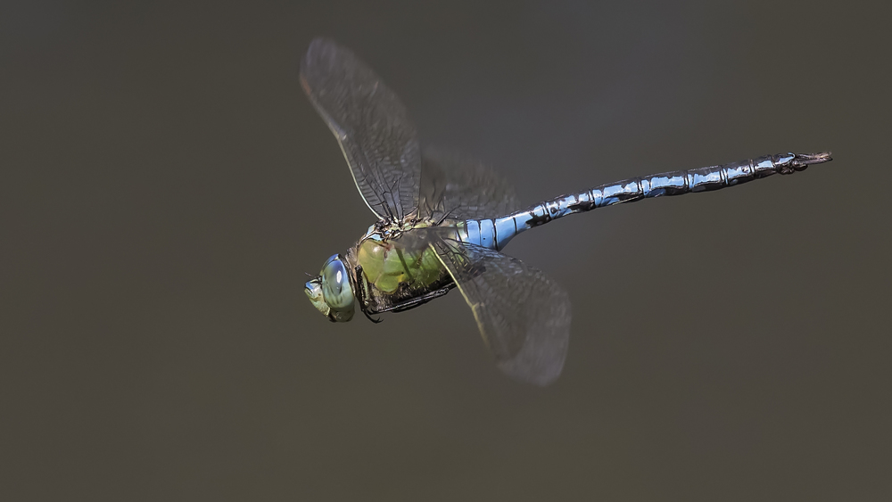 Emperor Dragonfly Flight Close 19th July.jpg