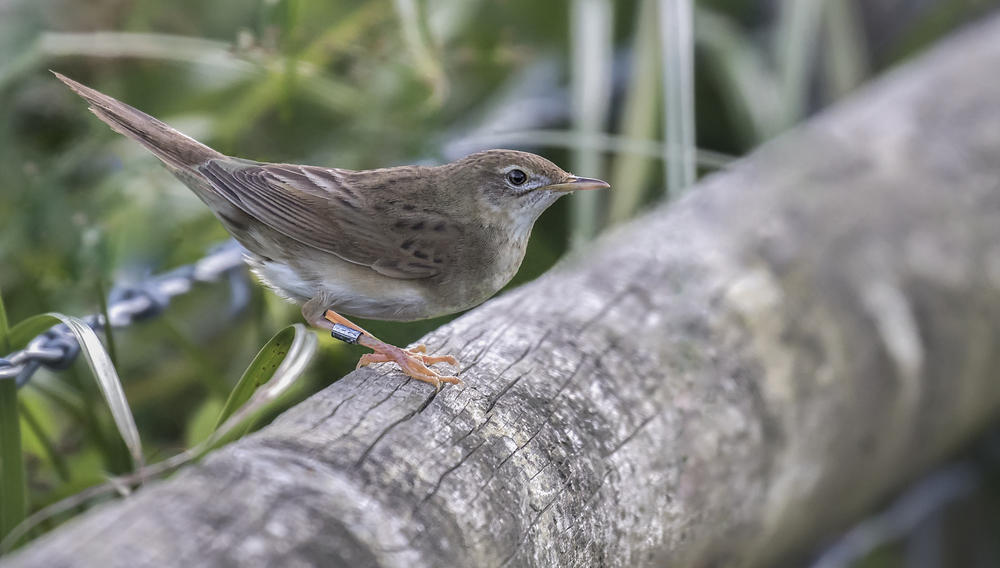 Grasshopper Warbler 25th July.jpg