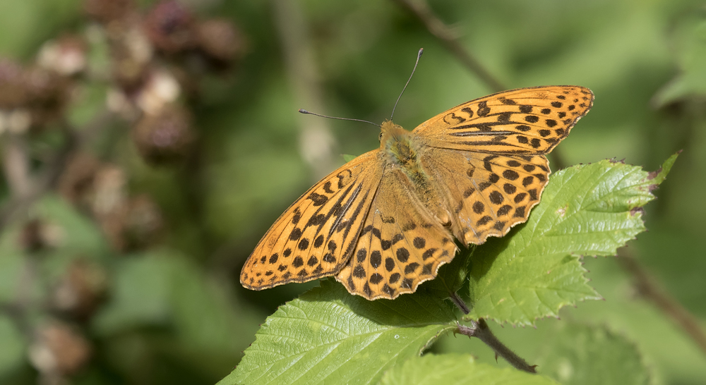 Male Silver-washed Fritellary 25th July.jpg