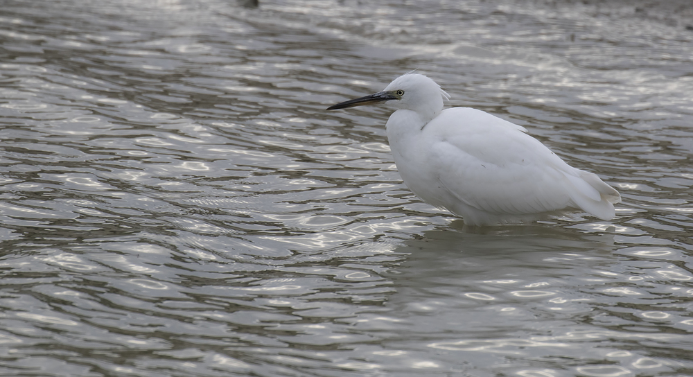 Juvi Little Egret 23rd July.jpg