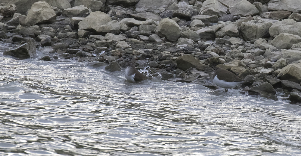 Common Sandpiper 23rd July.jpg