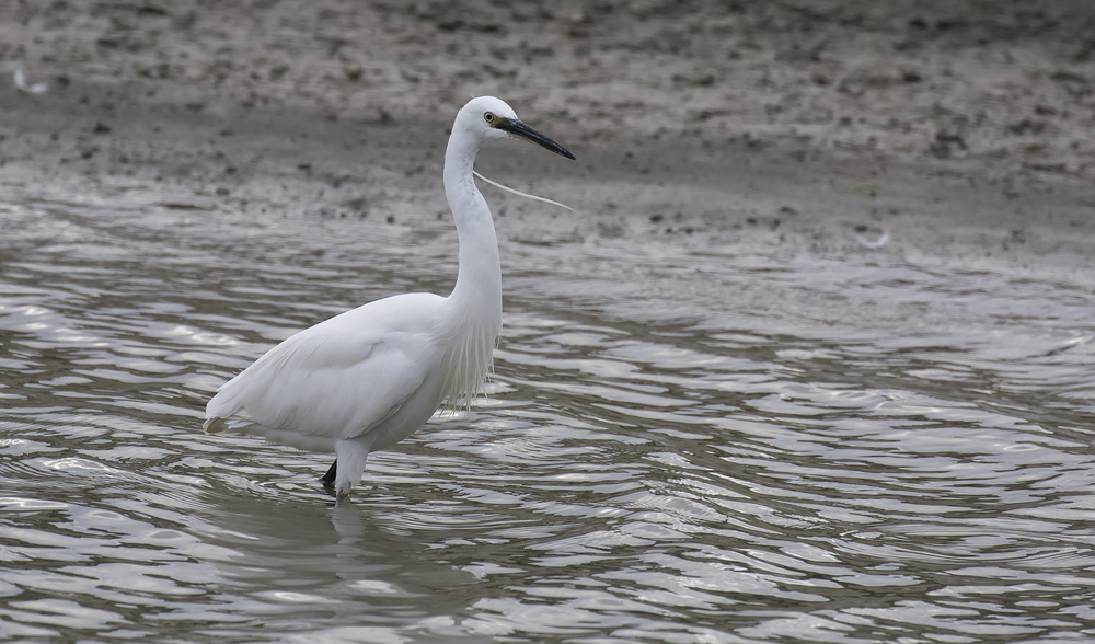 Aduly Little Egret 23rd July.jpg
